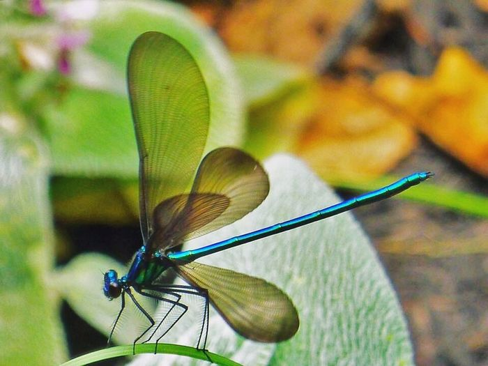 Insect Animal Themes Animals In The Wild One Animal Focus On Foreground Butterfly - Insect Close-up Day Animal Wildlife Nature Damselfly Outdoors No People Beauty In Nature Spread Wings Perching Flower Head