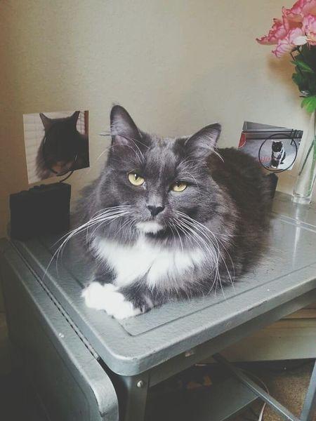 My sweet Moe Grey Cats 🐱 Enjoying Life Relaxing Chats