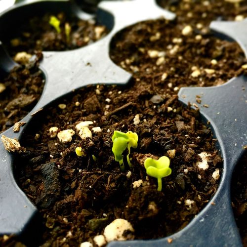 EarthDay2015 Planting Organic Dirtyhands Sprouts Kale BokChoy