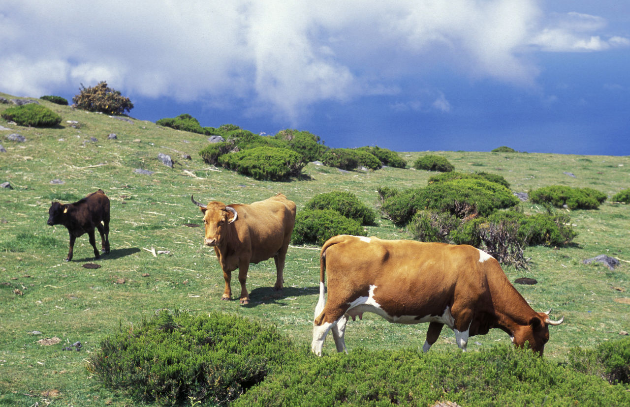 Cattle On Field Against Sky