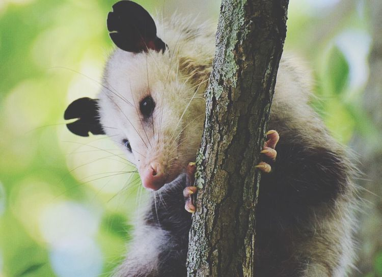 One Animal Mammal Animal Themes Domestic Animals Tree Pets Tree Trunk Day Outdoors Nature No People Portrait Close-up possum Possum Looking At Me... Whisker Opposum The Great Outdoors - 2017 EyeEm Awards