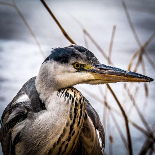 Close-up of a grey heron