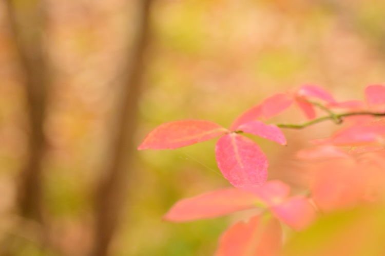Changing Seasons Autum Leaves Beauty In Nature Close-up Day Fragility Freshness Growth Nature No People Outdoors Pink Color Plant Pure Mind With Pure Air Silence Of Nature Tree
