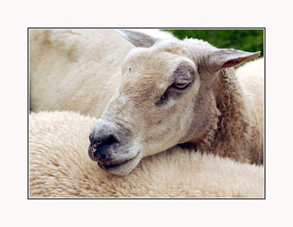 Animal Themes Day Domestic Animals Mammal Nature No People One Animal Shep