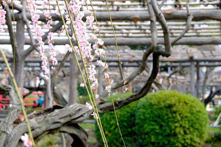 亀戸天神社、梅まつり Flower Flowerporn Flowers Fujifilm Fujifilm X-E2 Fujifilm_xseries Japan Japan Photography Plum Plum Blossom Shrine Shrine Of Japan Tokyo Ume XF18-55mm 亀戸 亀戸天神 亀戸天神社 東京 梅