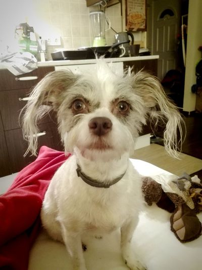 Pet Portraits Mydog Bambus Chihuahua Bichon Mix Thoseears Thoseeyes Humaneyes Cute