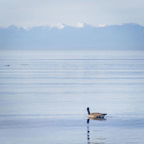 Bird swimming on lake against mountains