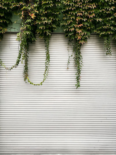Creepers growing over closed shutter