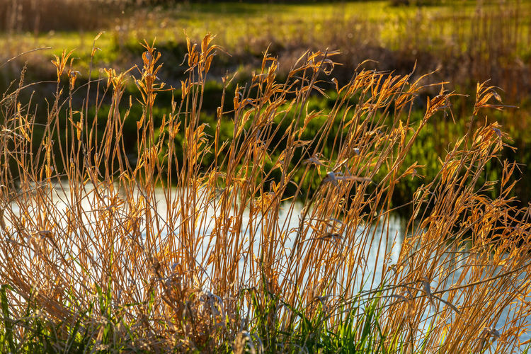 Close-up of reeds growing on field by lake