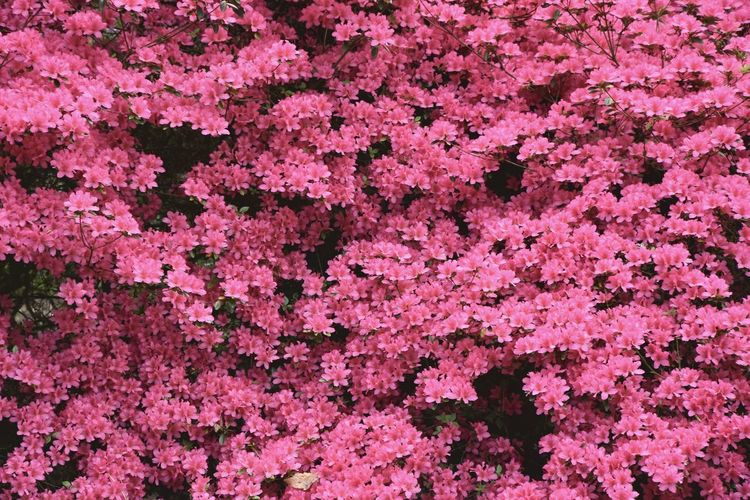 Abundance Beauty In Nature Blooming Flower Nature Petal Pink Pink Color
