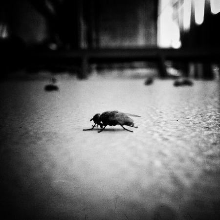 The fly Bw_collection Blackandwhite Insects  EyeEm Indonesia