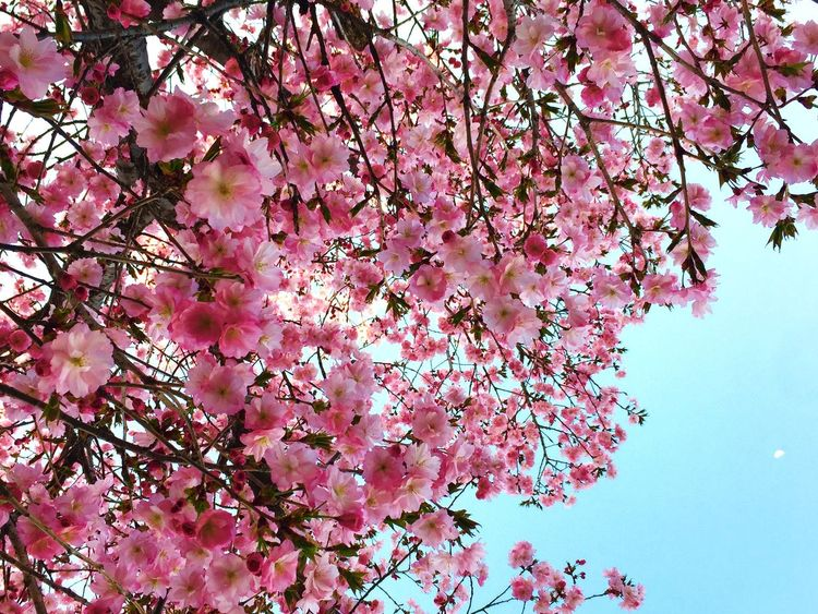 Cherry Blossoms Beautiful Sky Flowers Went To..