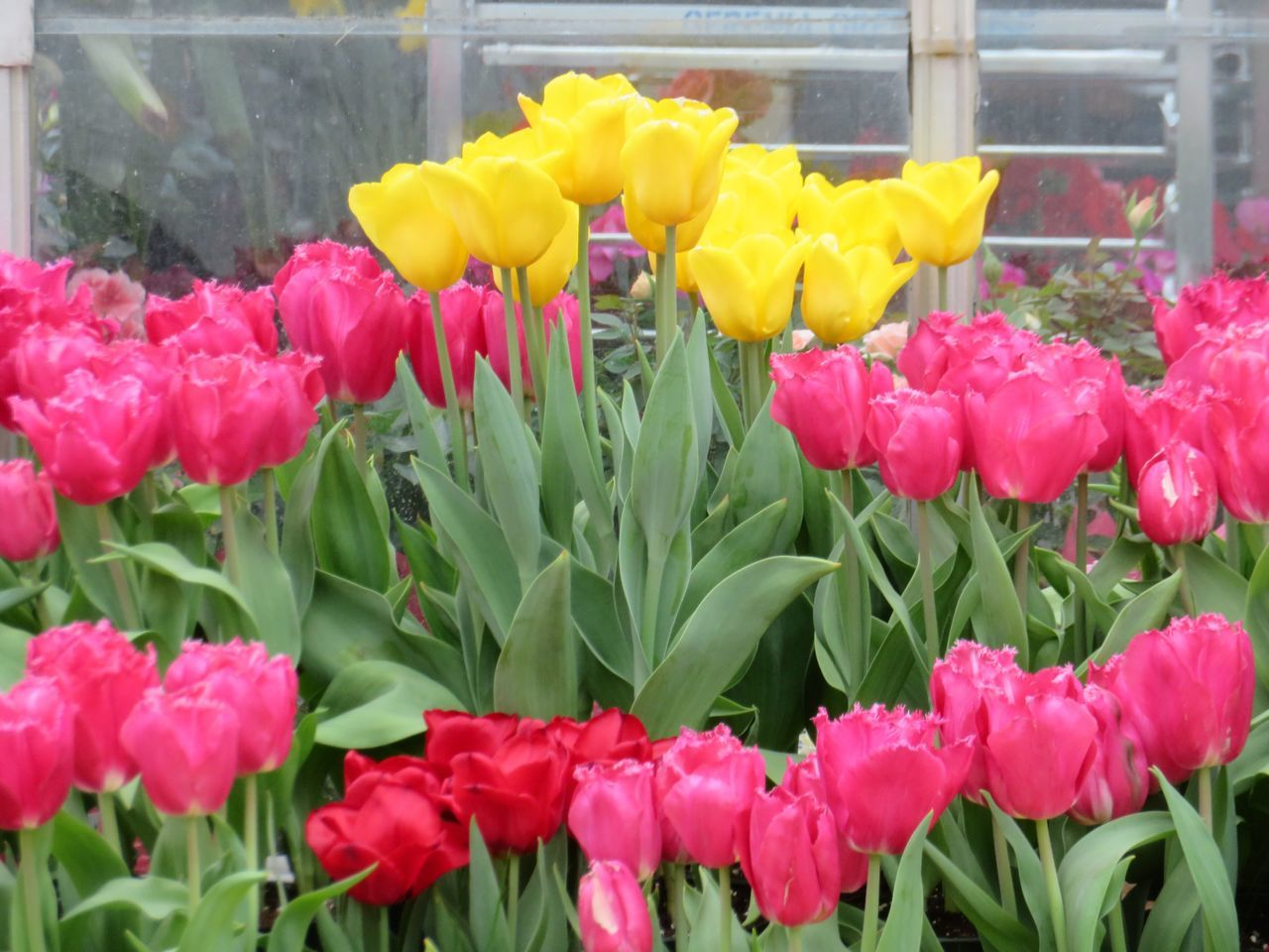 flower, fragility, freshness, petal, growth, beauty in nature, flower head, tulip, nature, pink color, yellow, plant, no people, springtime, day, multi colored, close-up, outdoors, blooming, leaf