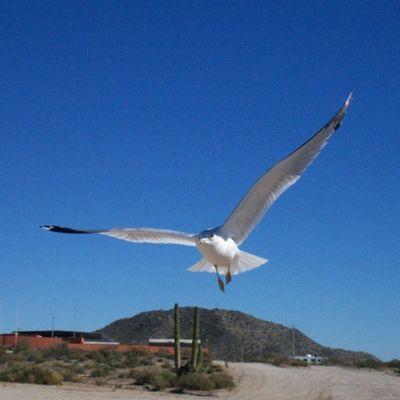 BahíadeKino Bird Flying Sonora playa cute cool instalike instacool amazing awesome