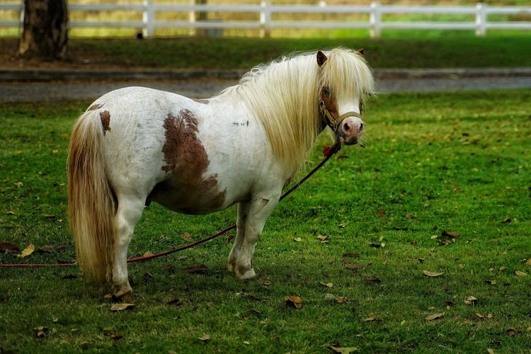 Dwarf Horse White Horse No People No Person Day Pets Dog Field Animal Themes Grass Livestock Green Color Pony Growing Horse Grass Area