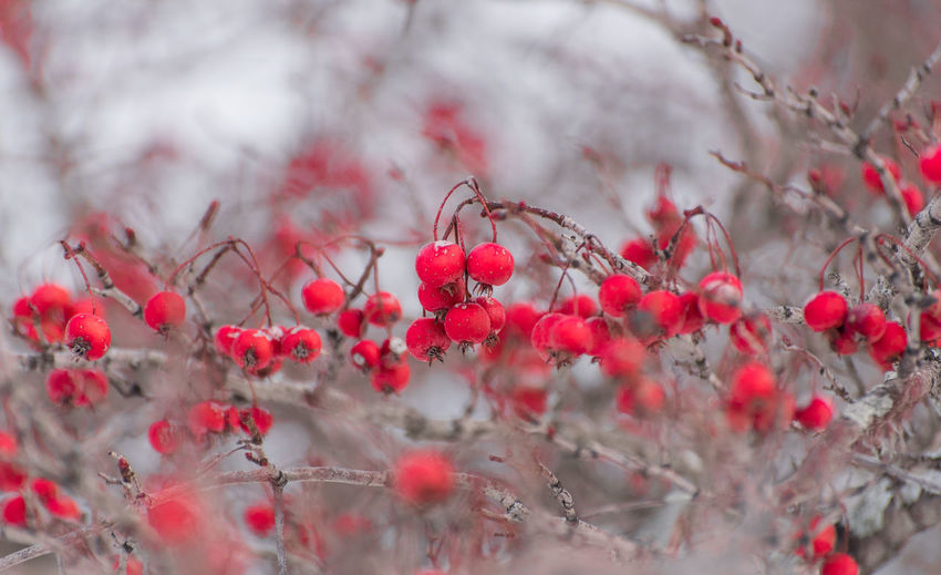 Beauty In Nature Branch Close-up Day Flower Flower Head Freshness Fruit Growth Nature No People Outdoors Plant Plum Blossom Red Rowanberry Tree
