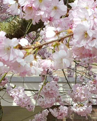 Cherryblossom Hanging Out Taking Photos Check This Out Showcase April Enjoying Life Eyeemflowercollection Spring Flowers Flower Collection Springtime Eyephotograpghy EyeEm Best Shots Garden Photography Streetphotography Pinkcollection