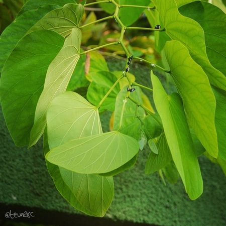 ??? Nature Ig_nature Plant Green membracidae tree garden bug insect