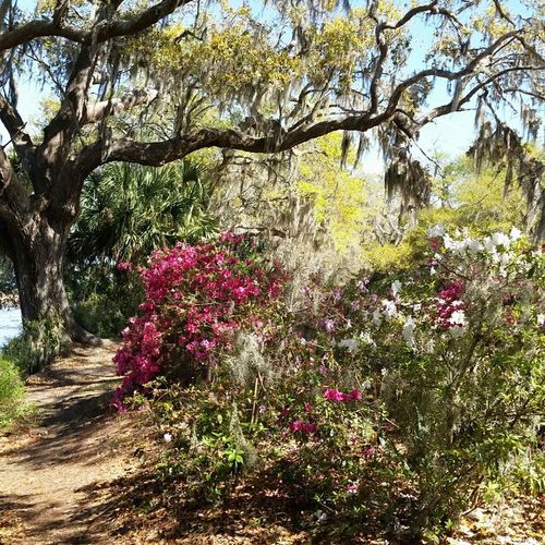 Growth Tree Nature Beauty In Nature Flower No People Fragility Freshness Outdoors Plant Day Branch Sky Beautiful ♥ Enjoying Life Tranquility Check This Out Beauty In Nature Boones Hall Plantation & Gardens Boonehallplantation Boone Hall Plantation Sc