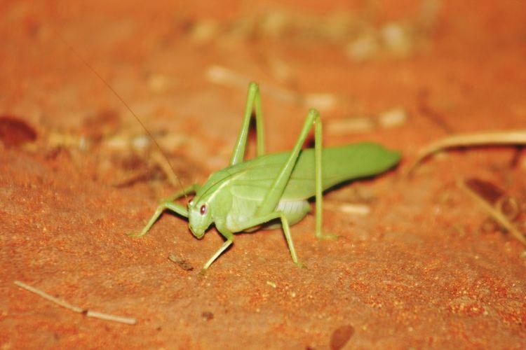 Australia Australien Outback Grashopper Grashopers Grashüpfer Wüste  Grashoppers Nature Desert Red Center