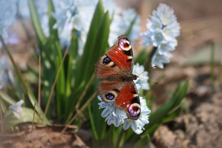 Aglais Io Animal Themes Animal Flower Plant One Animal Animal Wildlife Invertebrate Animals In The Wild Insect Beauty In Nature Flowering Plant Close-up Animal Wing Nature Butterfly - Insect Focus On Foreground Petal Growth Day Fragility No People Flower Head Outdoors Pollination Butterfly Springtime