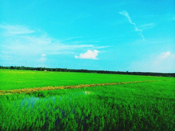 Paddy Field - Merbok , Kedah MY Paddyfield Nature Green Picture Photo Justshoot