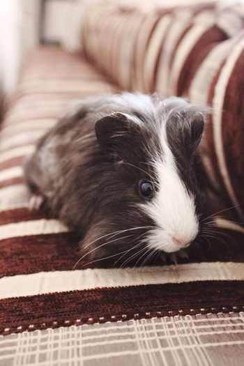 High angle view of guinea pig on sofa