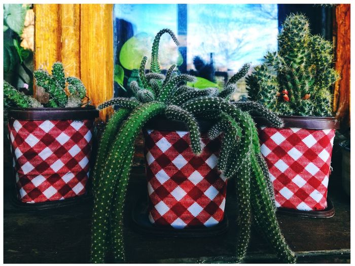 Green Amazing Kakutus Plant Colorful Awesome Kakutuseis Nature Springtime #flower#garden#nature#ecuador#santodomingoecuador#eyeEmfollowers#iphoneonly#nofiltrer#macro_garden#pretty#beautiful#followme#sho #March #springflowers #photobyme #photography #MobilePhotography #huaweiphotography #AnnGreeny #spring #Nature  #Georgia #Mountain #springday Stars And Stripes Christmas Decoration Patriotism Christmas Celebration Flag Red Tree Close-up Green Color