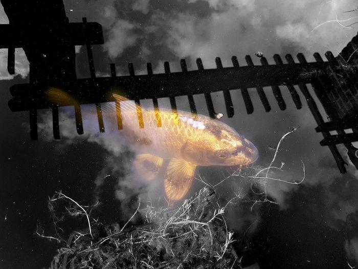 GOLD-karper-fish