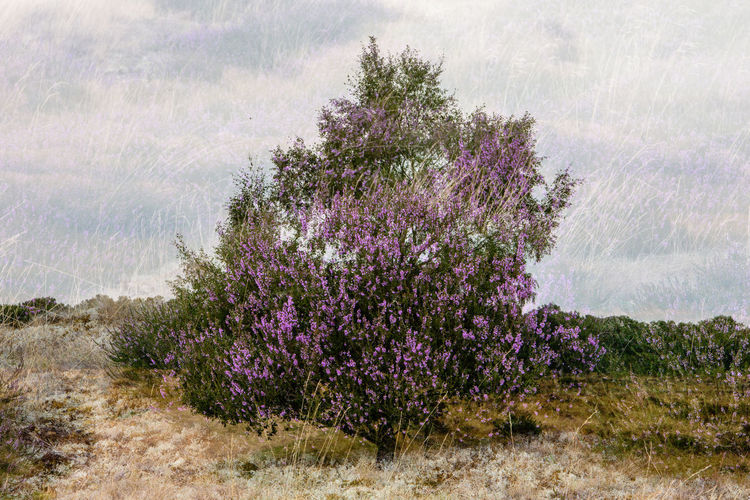 Double exposure of heather and trees, done in camera to create 'the heather tree'. Which do you like the best? One was tree before heather and the other heather before tree. Double Exposure Trees Beauty In Nature Double Exposure In Camera Environment Flower Flowering Plant Growth Heather Land Landscape Nature Plant Purple Tranquility Tree