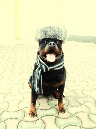 VictorRoot Dog Style EyeEm Dogs Eyeem Boss Model Rotweiller Cute Pets