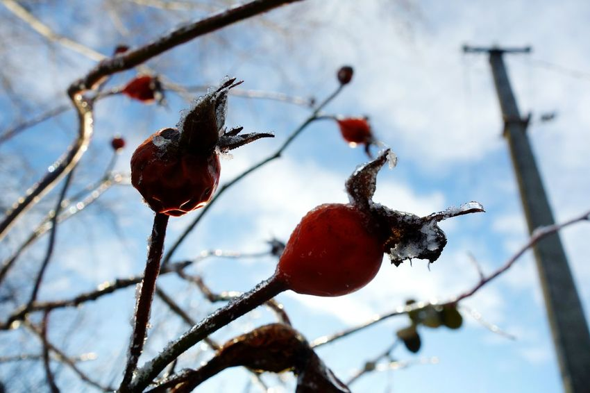 No People Winter Fruit Day Branch Tree Red Close-up Nature Outdoors Sky