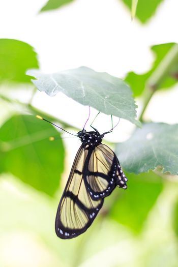 Insect One Animal Animals In The Wild Animal Themes Nature Butterfly Close-up Beauty In Nature Leaf Freshness Schmetterling