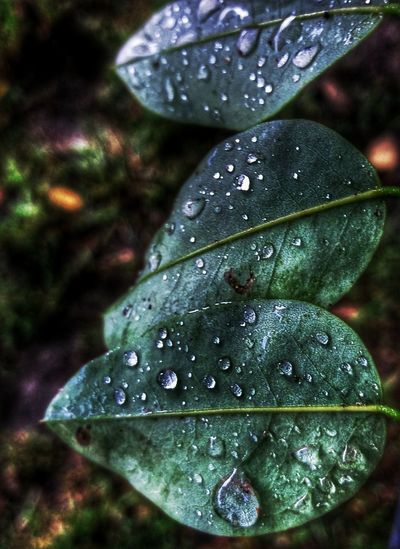 Beauty In Nature Close-up Drop Freshness Green Leaf Leafs Leaves Mobile Photography Mobilephoto Mobilephotography Nature Nature No People Plant Rain Raindrops Water Waterdrops Weather Wet