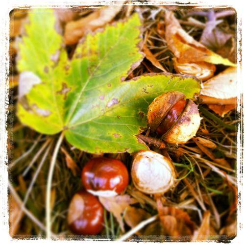 Fall. Autumn Chestnut Fall Brown