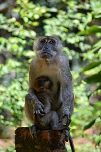 Macaque Full Length Ape Monkey Primate Brick Wall Outdoors Animals In The Wild Animal Themes Young Baby Monkey Mother And Child No People Close-up Day Nature Portrait Tree Animals In The Wild A Mothers Love Sitting Animal Wildlife Visit Ipoh Love Devotion