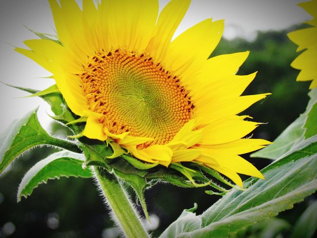 Sunflowers are my favorite. Sunflower Flowers Photography Taking Photos Nature Beauty Beautiful