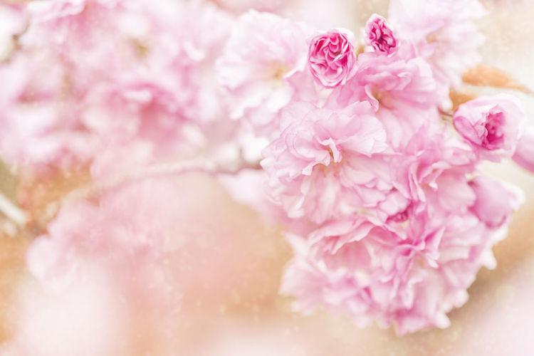 Blüten Flower Garden Großaufnahme Kirschblüten  Makro Flower Makro Photography Makrofotografie Mammal Pattern Romantic Rosé Spring Spring Flowers Springtime Zierkirsche Zierkirsche