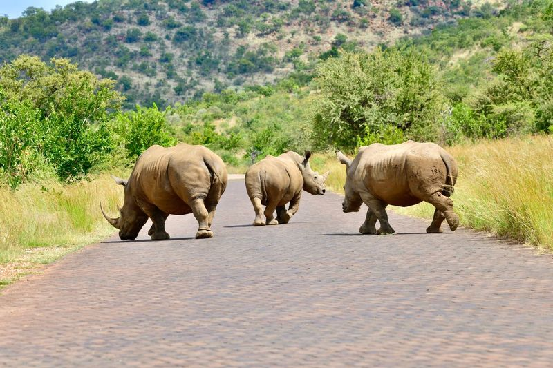 3 Rhinos in the road Animals In The Wild Animal Wildlife Animal Themes Elephant Outdoors Walking Mammal Day Nature Landscape African Elephant Safari Animals No People Tree Rhinoceros Elephant Calf Big Five Animals Bigfive Big Five Pilansberg Wild Reserve Rhino Rhinos Whiterhinos WhiteRhino African