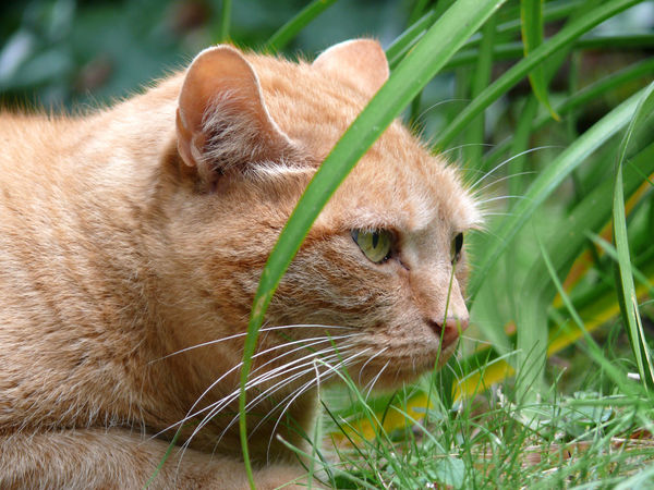 Animal Head  Animal Head  Animal Photography Animal Themes Animalportrait Cat Close-up Curiosity Day Domestic Animals Domestic Cat Feline Focus On Foreground Grass Housecat Mammal Nature Photography One Animal Outdoors Pets Portrait Red Cat Side View Tiger Whisker