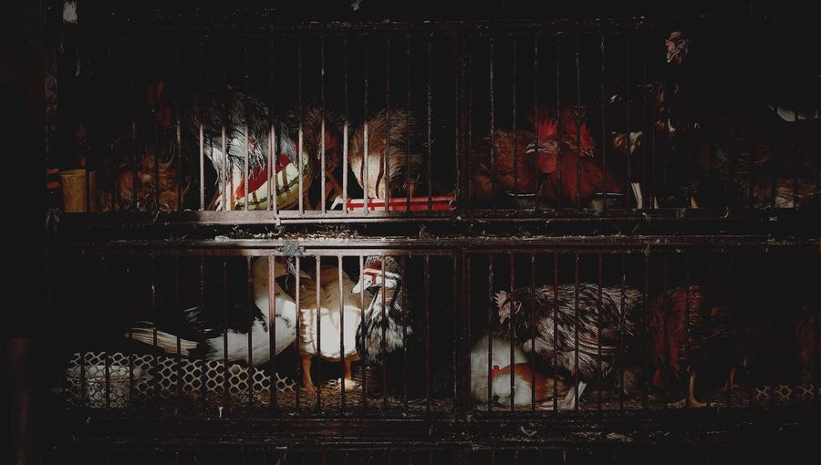 Domesticated birds in cage by night