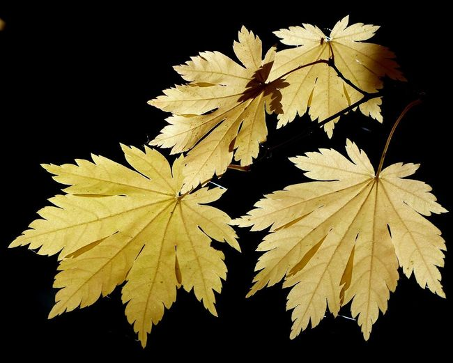 Close-up of yellow maple leaves against black background