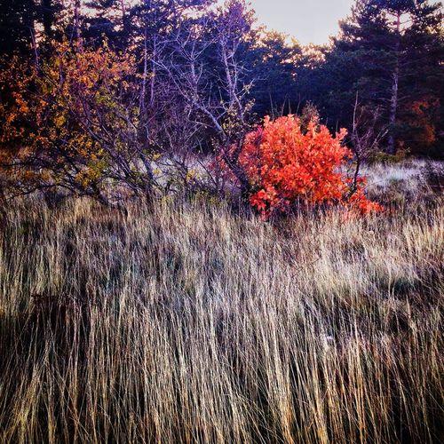IPhoneography Landscape_photography Nature Red Bush Autumn Autumn Colors Sunset