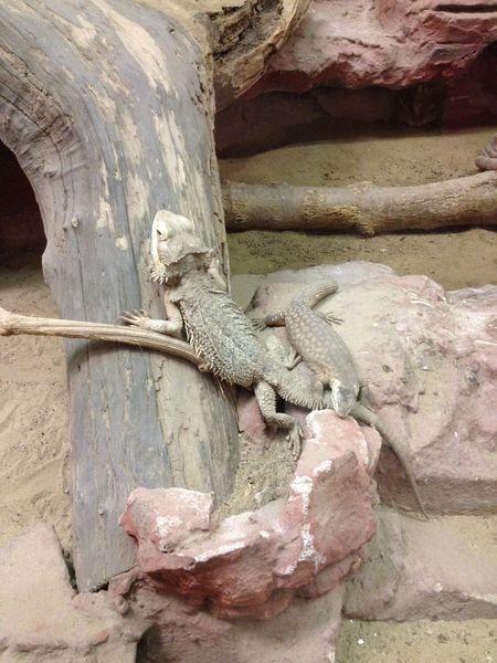 Reptile Animal Themes Close-up Textured  Day Lizard Backgrounds Nature Iguana Hungary Budapest Zoo Zoo Animals