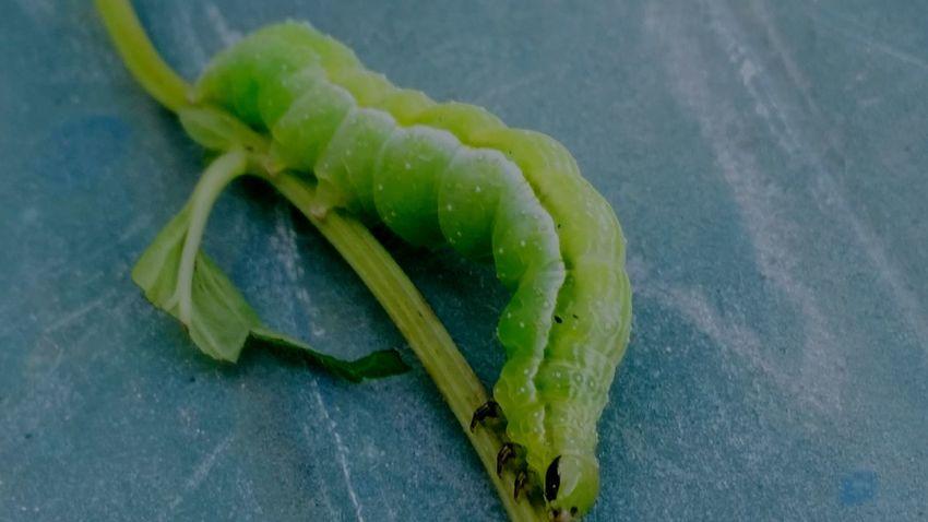 What Am I? Worm Green Worm Caterpillar Green Caterpillar will I be a butterfly? Peebles Ohio Taking Photos Enjoying Life Ohio, USA Bugs