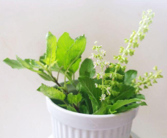herbal basil