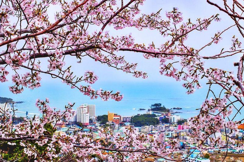 벚꽃 속 명선도 // Cherry Blossom // Hello World Enjoying Life Holiday Walking Around