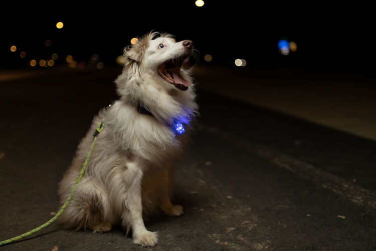 Dog looking away while sitting in city at night