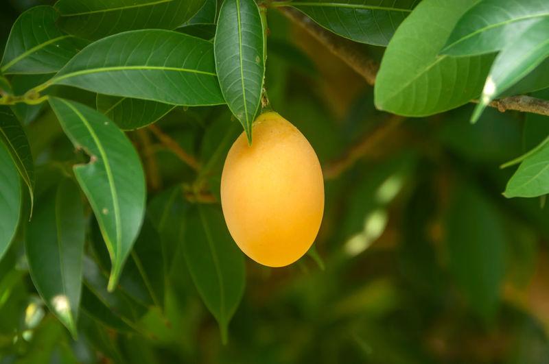 Close-up of orange growing on tree