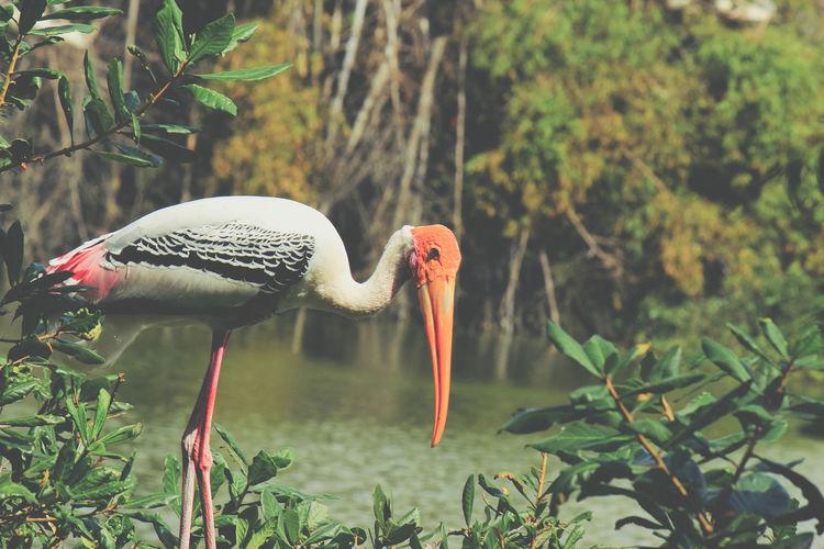 Storks and Pelicans EyeEmNewHere Vedanthangal Bird Flight Flying Pelican Sky Stork